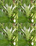 3 BULBS Rhizomes HEDYCHIUM CORONARIUM WHITE GINGER FRESH EASY TO GROW + FREE PHYTO Flower Fresh & Viable From Garden