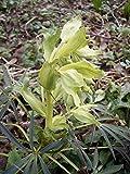 4 Starter Plants of Helleborus Foetidus