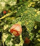 Live Plant - Chinese Lantern - Flowering Maple - Abutilon -Yard Candy Plants