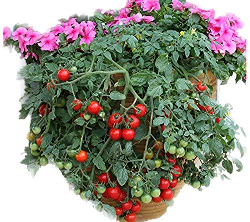Tumbling Tom (Organic) Tomato 150 Seeds By Jays Seeds Upc 643451295283