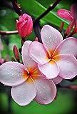 1 Rooted Plant of Pink Frangipani (Plumeria Rubra Hawaiian Lei Tree)