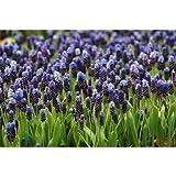25 Bulbs of Muscari latifolium