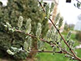 1 Starter Plant of Salix Arenaria - Salix Repens Var. Argentea
