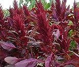AMARANTHUS RED SPIKE Amaranthus Cruentus - 100 Seeds