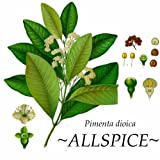 ~ALLSPICE~ Spice Tree Pimenta dioica Aromatic Leaves LIVE potted 8-12+inch Plant