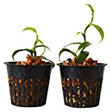 9Greenbox Most Popular Spice Plant, Vanilla Vine Orchid, 3 Pound (Pack of 2)