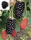 Natchez blackberry bush live plant NEW Rubus