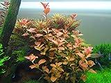 Ludwigia Repens 'Ovalis' - Live Aquarium Plants Freshwater Decorations BUY2GET1FREE