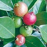 Psidium littorale or cattleianum Strawberry AKA Cattley Guava LIVE PLANT
