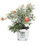 Oso Easy Hot Paprika Landscape Rose (Rosa) Live Shrub, Orange Flowers, 1 Gallon