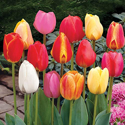 Burpee Perennial Tulip Mix 20 Large Flowering Fall Bulbs For