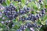 ARONIA MELANOCARPA 'VIKING'-- EDIBLE- PLANT APPROX 4-7 INCH - DORMANT