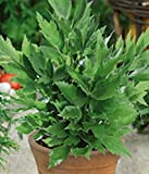 "Organic Herb Lovage seeds ""Smellage"" (Levisticum officinalis) Perennial 40 seeds"
