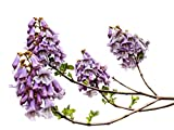 December01 &Royal Empress Tree 80 Seeds Paulownia Fast Growing Tree