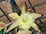 Rhyncholaelia (Brassavola) digbyana - Orchid Plant - Fragrant - Easy-Grower - Indigenous to Honduras