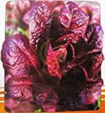 Hot Selling! Big purple romaine lettuce seeds 100 seeds of change
