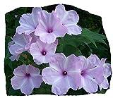 Morning Glory Tree/Bush, Pink Flowers, Ipomoea carnea/fistulosa, Badoh Negro, Borrachero, Matacabra. Bees Love it! (15+ Seeds)