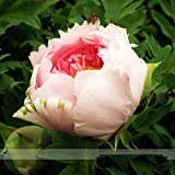 Heirloom Light Pink Rose Red Tree Peony 'Qiu Ball' Flower Seeds, Professional Pack, 5 Seeds / Pack, Strong Fragrant Flower