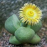 60pcs Pleiospilos Nelii Seeds Garden Succulent Plants Potting