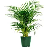 """AMERICAN PLANT EXCHANGE Areca Palm Indoor/Outdoor Air Purifier Live Plant, 6"""" 1 Gallon Pot, Cleans Toxins!"""