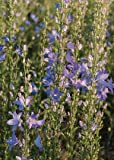 Campanula (Bellflower) pyramidalis Blue 2,000 seeds