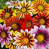 Outsidepride Gazania Garden Leader Striped Mix - 100 seeds