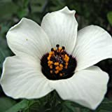 Outsidepride Hibiscus Trionum Simply Love Flower Seeds - 250 Seeds