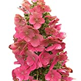 Ruby Slippers Oakleaf Hydrangea - Hardy Perennial Heavy Rooted - One Trade Gallon Pot - 1 Plant by Growers Solution