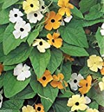 Thunbergia Seed (Black Eyed Susan Vine) Mix of orange,yellow and white flowers !(100 Seeds)