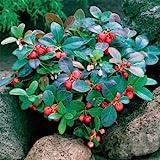 Outsidepride Wintergreen - 500 Seeds