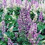 Clary Sage Seeds (Salvia sclarea) 10+ Rare Heirloom Herb Seeds