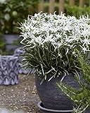 Leontopodium alp. 'Blossom of Snow' Edelweiss