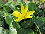 Gifts Delight Laminated 32x24 inches Poster: Ficaria Verna Lesser Celandine Wildflower Flora Botany Species Plant Blooming Macro