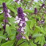 Cinnamon Basil Seeds - Emerald green leaves with beautiful purple stems !!!!(10 - Seeds)