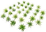 25 Miniature Fairy Garden Plants - Live Tillandsia Air Plants for Enchanted Gardens - Terrarium House Plant Accessories and Gardening Starter Kit Supplies