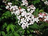 ABELIA MOSANENSIS - FRAGRANT ABELIA - STARTER PLANT