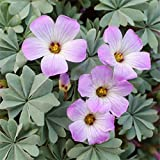 super1798 10Pcs Shamrock Oxalis Triangularis Bulbs Leaf Flower Seeds Garden Plant