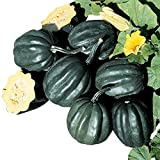 Winter Acorn Squash Table Ace F1 - Vegetable Seeds Package - 250 Seeds