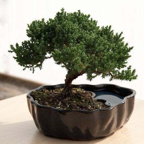 Juniper Bonsai Zen Reflections Promote meditation, harmony, peace, and balance