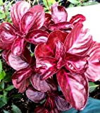 IRESINE HERBSTII 'CHICKEN GIZZARD' OR 'BLOOD LEAF' - 2 1/4 INCH PLANT