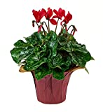 KaBloom Live Plant Collection: 12'' Red Cyclamen Plant in a 4.5'' Red Covered Pot