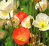 BIG PACK - (100,000+) ICELAND POPPY Seed - Papaver nudicaule - Flower Seeds By MySeeds.Co (Big Pack - Iceland Poppy)