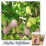 Go Garden Tree Bonsai 8pcs THREELEAF AKEBIA - Akebia Trifoliata Potted Plants DIY Home Gardening