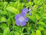 Vinca major 'Maculata' Big Leaf Periwinkle