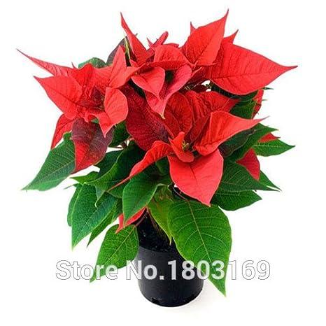 100 Pc Sacchetto Semi Di Stella Di Natale Euphorbia