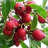 Strawberry Guava Cattley Psidium littorale or cattleianum LIVE FRUIT PLANT