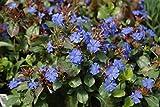 Sandys Nursery Online Plumbago Ceratostigma plumbaginoides Groundcover ~Lot of 2~ Starter Plants