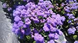 Dwarf Purple Ageratum Mexicanum Flower Plant 400 Seeds