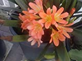 9EzTropical - Orange Fire Lily - Clivia - 1 Plant - 6 or More Leaves - 1 Gal Pot