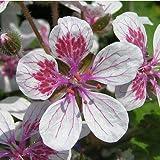 Plant World Seeds - erodium pelargoniflorum Seeds